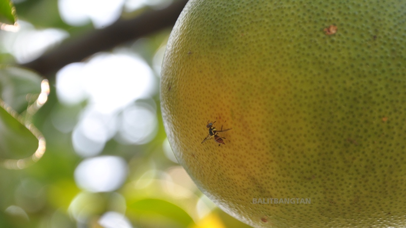 Fruit fly attacks citrus fruit