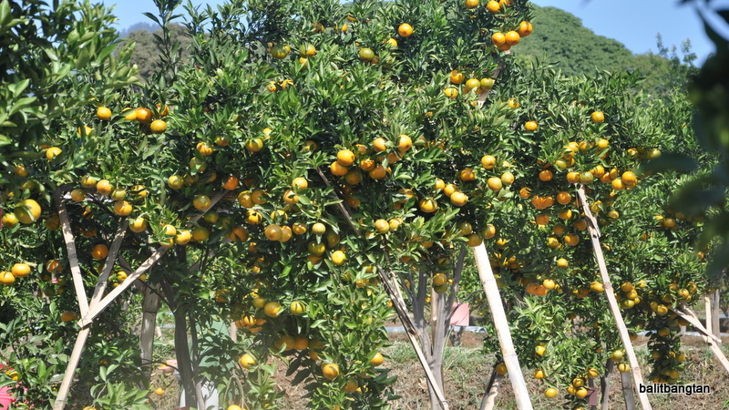 Flowering Induction on Mandarin