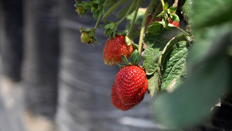 Strawberry Cultivation in the Field