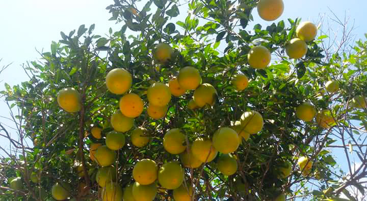 The exotic fruit from Kisar Island: Kisar Orange
