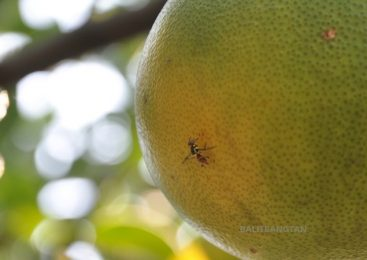 Fruit fly's Attack on Citrus Fruit