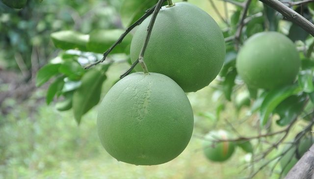 Development of Commercial Pummelo Orchard
