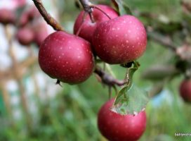 Challenges on apple revitalization in Batu, East Java:  new varieties and new cultivation system