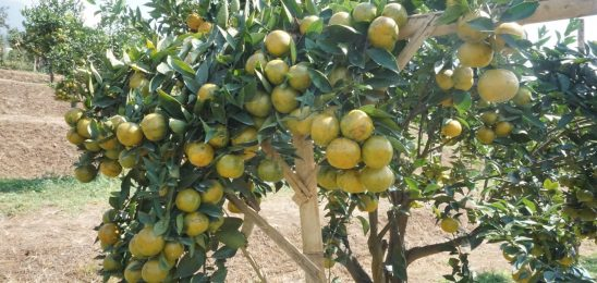 What could be done to add fruit value for citrus in harvest season?